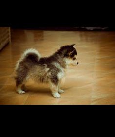 Pomsky! ❤they never get any bigger. I love this dog!!!!