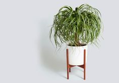 If you share your space with a very curious cat or dog: Ponytail Palm.