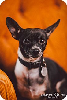 Portland, OR - Basenji/Chihuahua Mix. Meet Chiki, a dog for adoption. http://www.adoptapet.com/pet/10760150-portland-oregon-basenji-mix