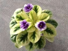 Varigated african violet