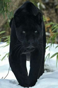 A black panther is not a species in its own right; the name black panther is an umbrella term that refers to any big cat with a black coat. Majestic Animals, Rare Animals, Animals And Pets, Wild Animals, Beautiful Cats, Animals Beautiful, Big Cats, Cats And Kittens, Siamese Cats