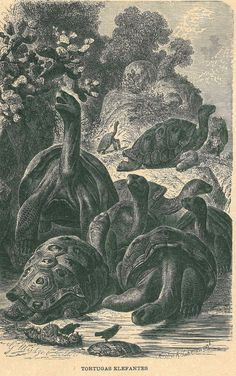 1883 Giant Tortoise Print Antique by CarambasVintage, $16.00