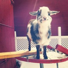 THIS IS THE HAPPIEST GOAT I HAVE EVER SEEN  JUST LOOK AT ITS FACE
