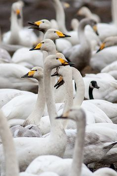 Whooper Swans of northern Eurasia, similar to Trumpeter and Tundra Swans of NA