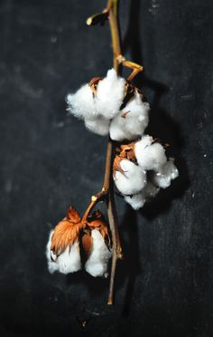 Amazing flowers this is where beautiful cotton all starts. Have an awesome start to your week! Cotton Blossom, Cotton Plant, Cotton Fields, Plants Are Friends, Nature Decor, Belleza Natural, Flower Photos, Amazing Flowers, Plant Decor