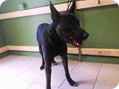Gardena, CA - German Shepherd Dog Mix. Meet JET, a dog for adoption. http://www.adoptapet.com/pet/13361246-gardena-california-german-shepherd-dog-mix