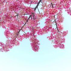【2chirorururu2】さんのInstagramをピンしています。 《鍵がないとか……嫌がらせかな(・∀・)← ゴーひろみ♬  7 Feb 2017/Japan  #桜 #寒桜 #冬 #空 #風景 #自然 #花 #sakura #cherryblossom #flowers #sky #winter #landscape #nature #moment #today #photography #pink #white #blue #iphonephotography #instagood #instadaily #vscocam #sacam_2017》