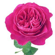 FiftyFlowers.com - David Austin Kate Garden Rose