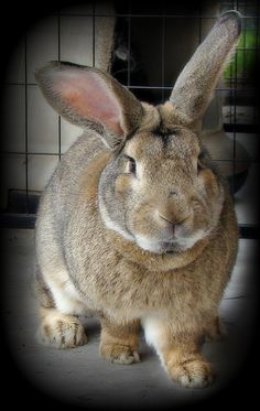 Flemish Giant Marvin