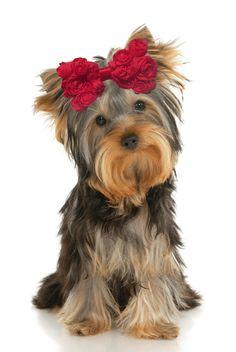 Most Inspiring Hair Bows Bow Adorable Dog - 4faa7bdde5c98cc63af58e4fd383a02f--dog-hair-bows-dog-bows  Pic_776959  .jpg