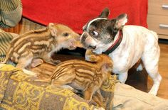 Baby the French bulldog thinks the wild boar piglets are her own <3