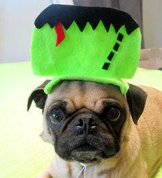 Frankenstein pet costume #halloween