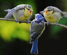 Pleito de pájaros.