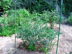 How to Grow: Blueberries- Growing Blueberries- Blueberry Bushes Pruning Blueberry Bushes, Fruit Bushes, Garden Hedges, Garden Landscaping, Growing Blackberries, Blueberries, Bush Plant, Compost Tea, Gardening Tips