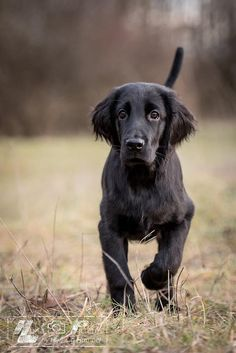 Flat Coated Retriever Pup~ Classic Look & Trim By Hartwig Humpel.