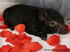 cute micro piglet Valentine picture