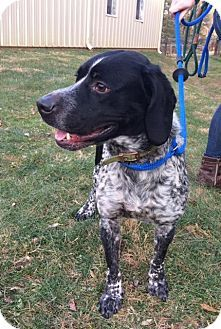 Waterford, VA - Pointer. Meet JAKE, a dog for adoption. http://www.adoptapet.com/pet/17251560-waterford-virginia-pointer