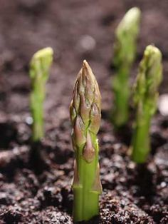 "Asparagus Spacing  Single Plants: 1' 6"" (45cm) each way (minimum)  Rows: 1' 6"" (45cm) with 1' 6"" (45cm) row gap (minimum)"