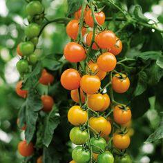 Tomato Toronjina F1 Organic