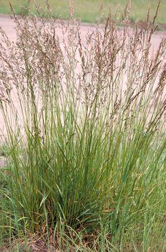 Festuca arundinacea, Fétuque roseaux (B)