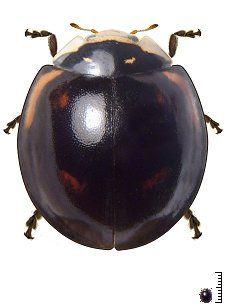 Cheilomenes sexmaculata - Venezuela - Coccinellidae