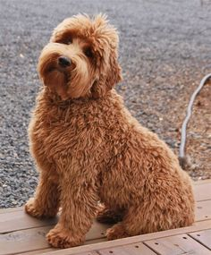 16 Best dogs images in 2015 | Dogs, Goldendoodle, Labradoodle