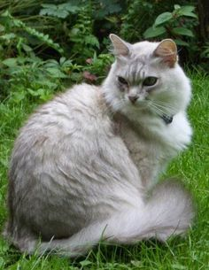 The Cymric cat is a breed of domestic cat. Some cat registries consider the Cymric simply a semi-long-haired variety of the Manx breed, rather than a separate breed. Except for the length of fur, in all other respects the two varieties are the same, and kittens of either sort may appear in the same litter.