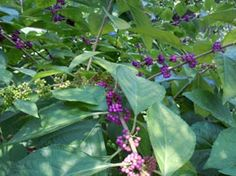 Native fruiting shrubs, such as American Beautyberry (Callicarpa americana) provide structure, color and interest in the landscape. They also serve as an important source for native birds; plant varieties that fruit in different seasons to  provide a year-round supply of food for wildlife.