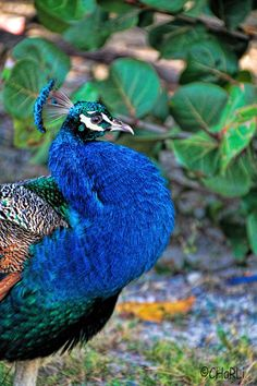 Peacock at the beach