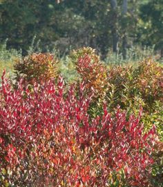 Red shrubs in Autumn in The Hamptons  #photography