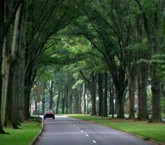 Charlotte, NC...Oaks lining Queens Road West are an example of the city's green beauty.