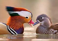 Mandarin Duck (Aix galericulata) couple by Stefano Ronchi
