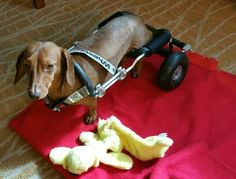 Meet Maui - the 51st dog to be granted a wheelchair from the Frankie Wheelchair Fund. Keep on rolling, Maui!