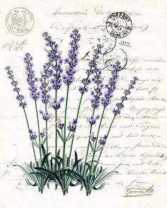 Botanical Print Lavender …