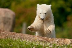 Siku's play includes classic pouncing behavior: wild polar bear pounce to break through the ice to catch seals.
