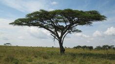 The Umbrella Thorn Acacia Tree--Sentinels along with giraffes surrounding our sit down champagne breakfast on the Serengeti after a spectacular balloon ride. No words to describe. Acacia, African Plants, Umbrella Tree, Serengeti National Park, Out Of Africa, Game Reserve, Photo Tree, African Safari, Tanzania