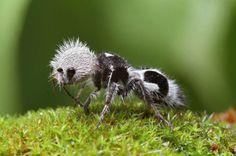 Hormigas Panda   No son realmente hormigas, sino más bien avispas de la familia Mutillidae. Las hembras sin alas parecen una hormiga mientras que el macho parecerá una avispa. Esta avispa particular es distinta debido a su panda como marcas.