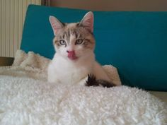 Looping, européen X siamois mâle né le 15/01/2015 à l'adoption sous contrat Action For Pets Adoption, Cats, Siamese Cat, Animaux, Foster Care Adoption, Gatos, Cat, Kitty, Kitty Cats