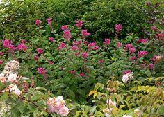 Salvia involucrata | Flickr - Photo Sharing!