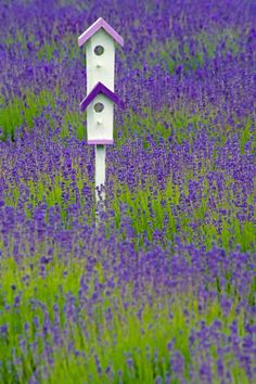 Bird houses in lavender field