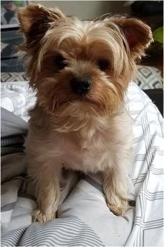 Benny Is An Adoptabl Benny Is An Adoptable Dog Yorkshire Terrier