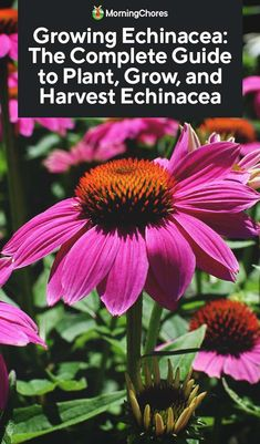 Potager Garden Growing Echinacea: The Complete Guide to Plant, Grow, and Harvest Echinacea - Looking for a plant that is as pretty as it is useful? Then you should consider growing echinacea. We'll help you get started. Outdoor Plants, Garden Plants, Fruit Garden, Organic Gardening, Gardening Tips, Container Gardening, Urban Gardening, Gardening Supplies, Indoor Gardening