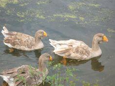 Tula geese...p1020099.jpg