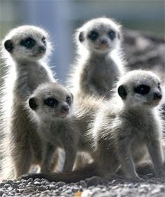 Meerkat babies come out to play | Stuff.co.nz