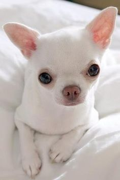 pretty white chihuahua puppy