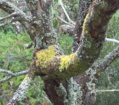 Two types of lichen on a tree trunk, Trentham, Victoria.