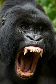 Mountain gorilla, Rwanda, by Thierry Riols #mountain-gorilla #gorille-de-montagne #Rwanda