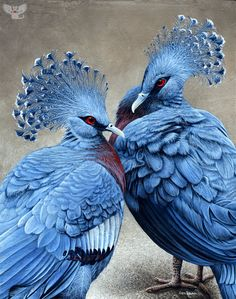 The Victorian Crowned Pigeon is an unusual bird; it's elegant, brightly colored, and the largest surviving pigeon on earth. It's actually endangered, seriously threatened by logging and illegal capture in its native land of New Guinea. Painting by Cara Bevan.