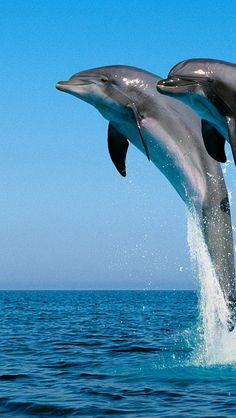 dolphins_jump_water_sea_spray_synchronously_31731_640x1136 | Flickr - Photo Sharing!