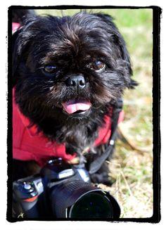 どもでつ。Hi! Do-mo! kurosuke ishigaki Pug+ShihTzu Mix Dog Nikon D50